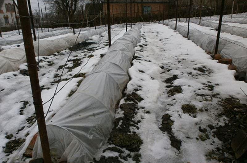 Как подготовить виноград к зиме: советы садоводов