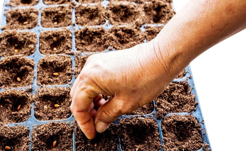 Выращивание арбузов на дачном участке