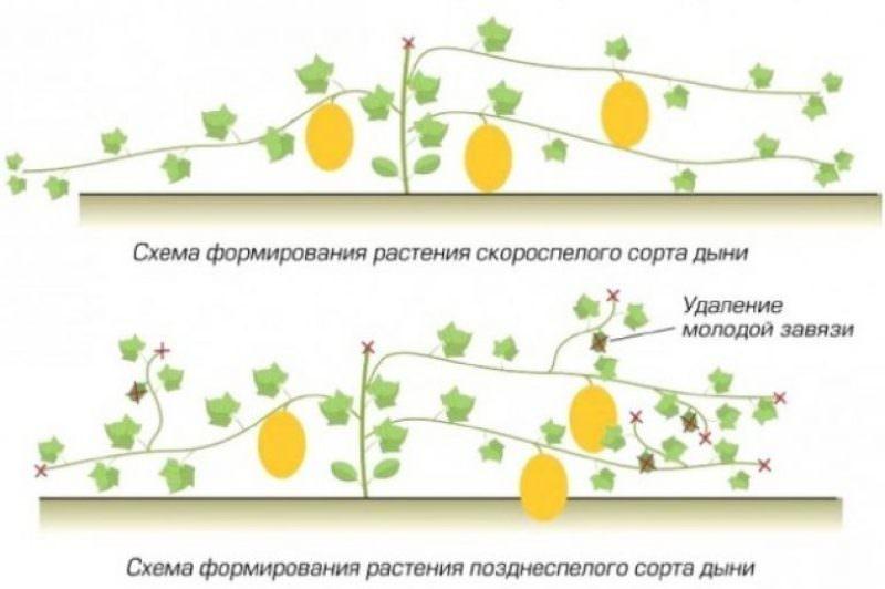 Правила выращивания дыни в домашних условиях