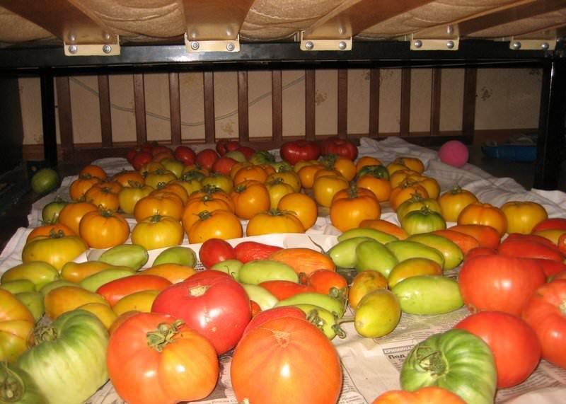 Как правильно организовать хранение зеленых помидоров