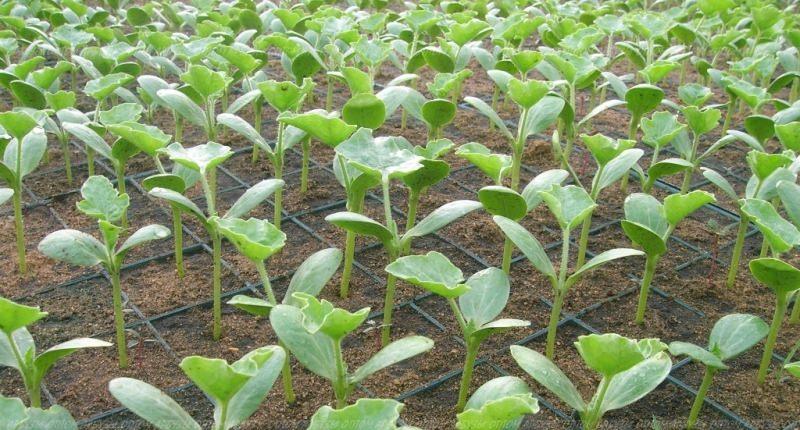 Как в домашних условиях посадить арбуз на рассаду?