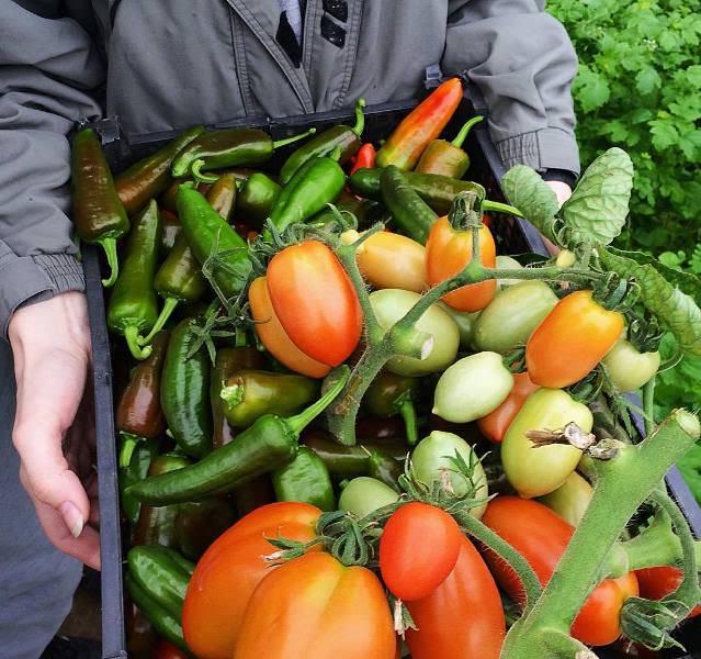 Вкусные болгарские помидоры: характеристики и достоинства