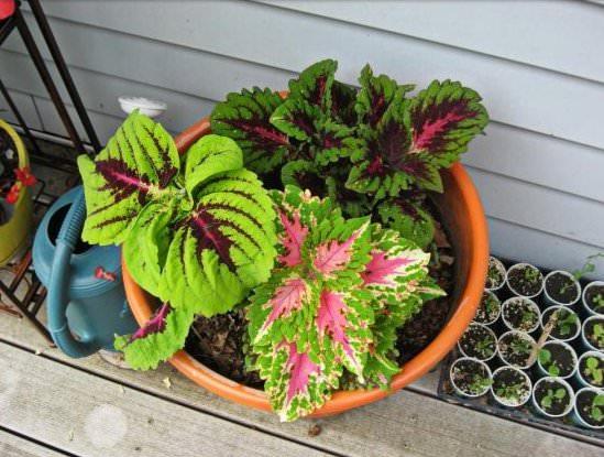 Колеус: разновидности растения и особенности ухода