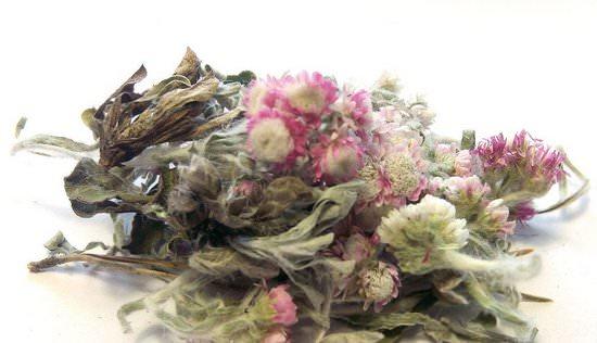 Лекарственное растение кошачья лапка двудомная