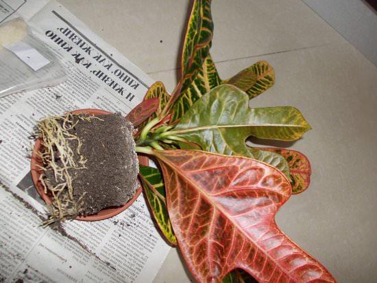 Тропический гость: выращиваем кротон в домашних условиях