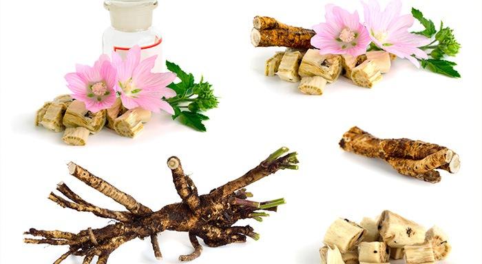 Алтей лекарственный: применение и лечебные свойства растения