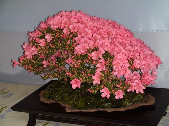 Азалия: экзотика и колорит южного цветка дома