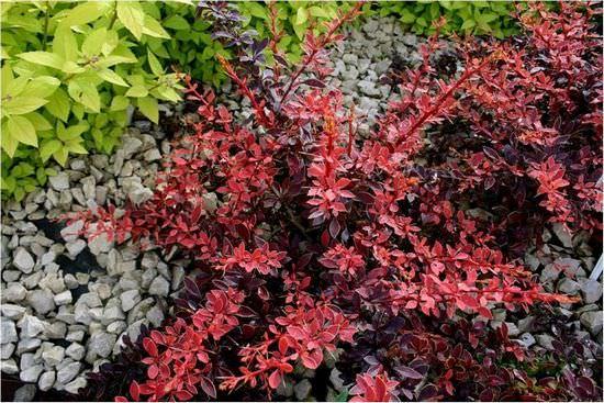 Барбарис: описание видов, особенности посадки и ухода за кустарником