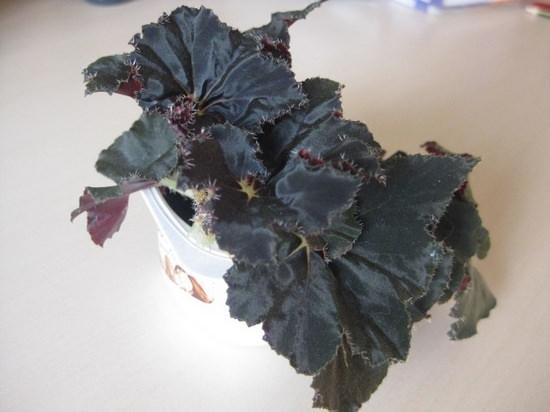 Комнатная бегония: описание видов и сортов, рекомендации по уходу за растением