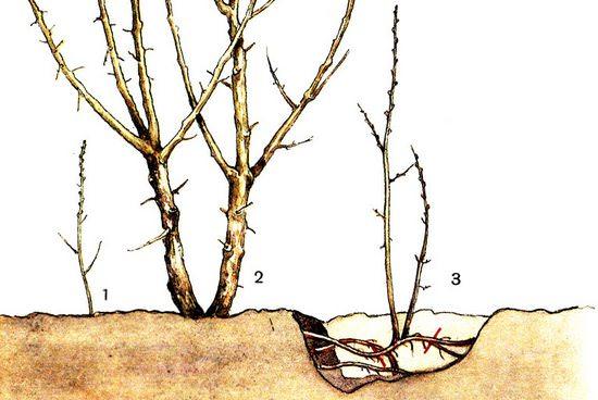 Гортензия: посадка и уход в открытом грунте