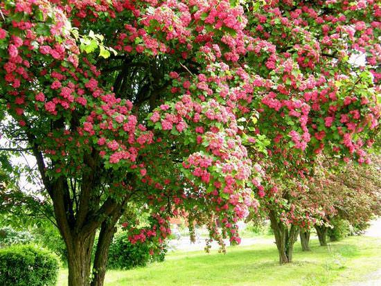 Лечебные и декоративные свойства боярышника