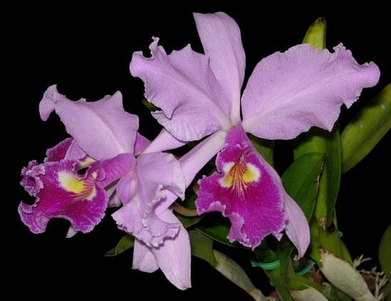 Первая королева среди королев: выращиваем Орхидею Каттлея у себя дома