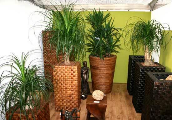 Цветок нолина: советы по уходу за растением в домашних условиях