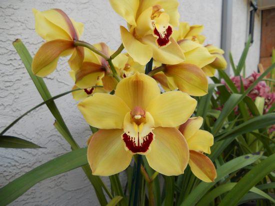 Орхидея цимбидиум (cymbidium): особенности выращивания в домашних условиях
