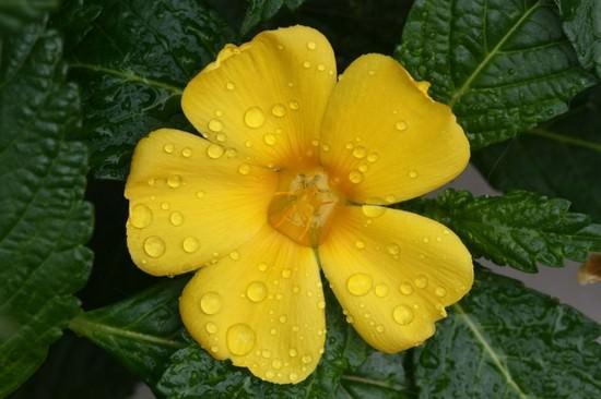 Целебные свойства растения дамиана и его грамотное применение в лечении