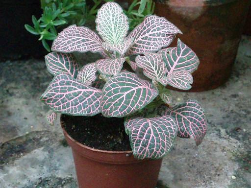 Тропическая фиттония: выращиваем экзотическую красавицу у себя дома