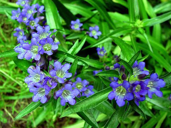 Горечавка желтая (генциана): лечебные свойства и применение травы в народной медицине