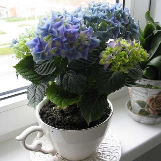Гортензия комнатная: способы размножения, правильный уход и возможные проблемы при выращивании