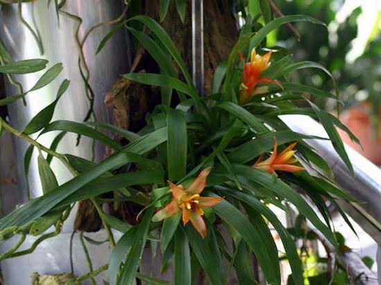 Гузмания Микс: ботаническое описание и особенности ухода в домашних условиях