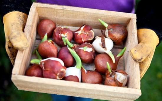 Особенности хранения луковиц тюльпанов зимой