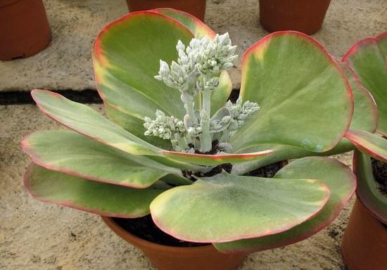 Комнатное растение каланхоэ: уход в домашних условиях ...