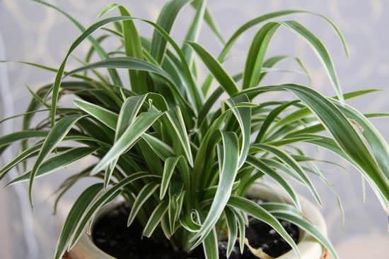 Секреты ухода за хлорофитумом в домашних условиях и описание видов растения