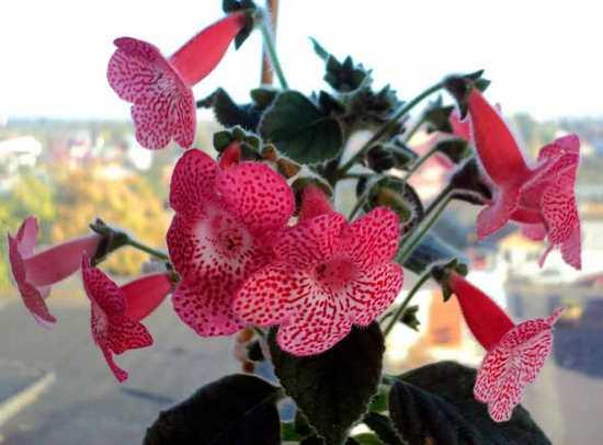Колерия: разновидности цветка, особенности выращивания и ухода