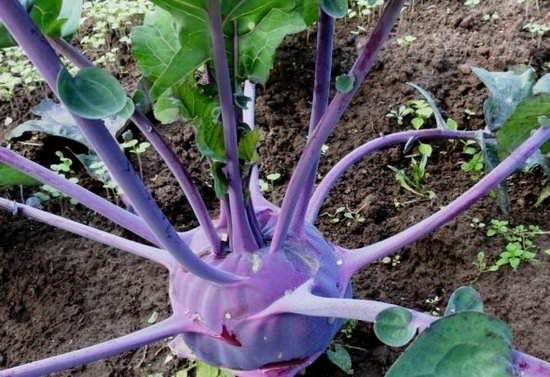 Кольраби: сортовое разнообразие и особенности выращивания в открытом грунте