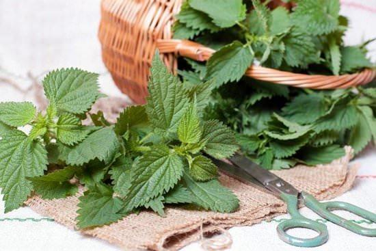 Крапива двудомная: ботаническое описание и лечебные свойства травы