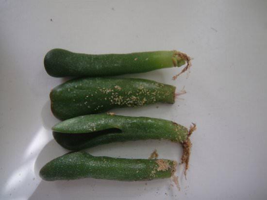 Выращивание Крассулы (толстянки) в домашних условиях