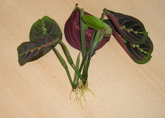 Комнатный цветок маранта: описание видов и секреты ухода в домашних условиях