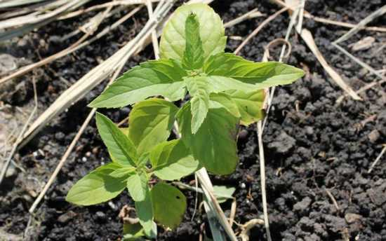 Монарда: характеристика видов, лечебные свойства и особенности выращивания