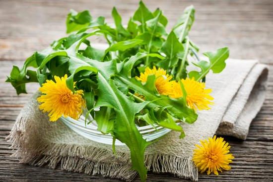 Одуванчик лекарственный: лечебные свойства и особенности применения