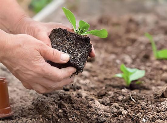 Технология выращивания пекинской капусты в открытом грунте и теплице