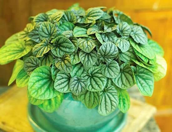 Пеперомия: уход за многоликой зеленой красавицей в домашних условиях