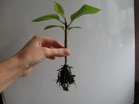 Плюмерия: технология выращивания из семян и особенности ухода в домашних условиях