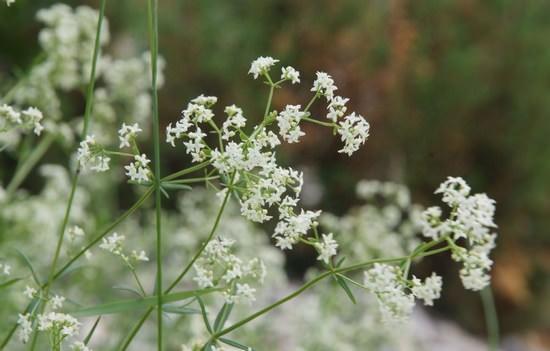 Подмаренник: виды растения, лечебные свойства, меры предосторожности