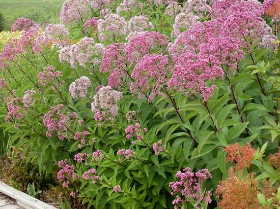 Посконник пурпурный: декоративное чудо и мощное средство народной медицины
