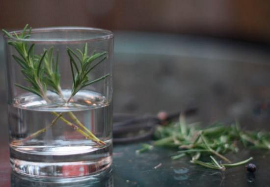 Экзотический розмарин: правила выращивания в квартире и открытом грунте