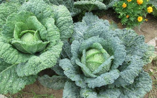Савойская капуста: описание сортов и особенности выращивания