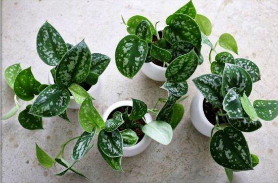 Тропики у себя дома: выращиваем комнатную лиану сциндаптус