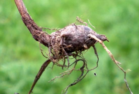 Лечебные свойства и применение ореховый травы