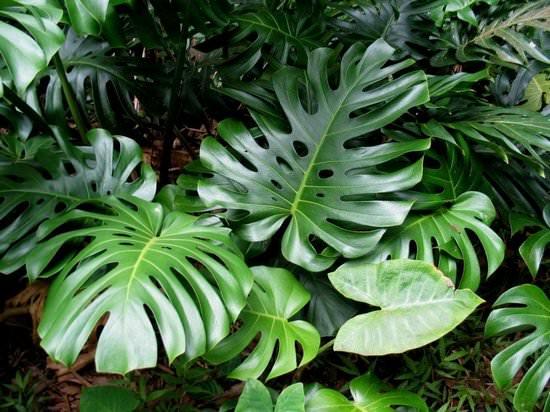 Монстера: условия выращивания, размножение и уход в домашних условиях