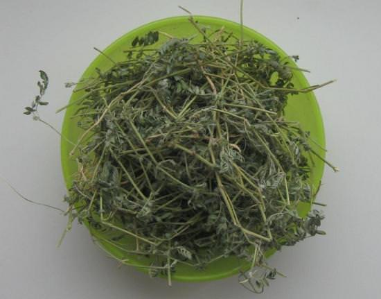 Трава якорец стелющийся в народной медицине