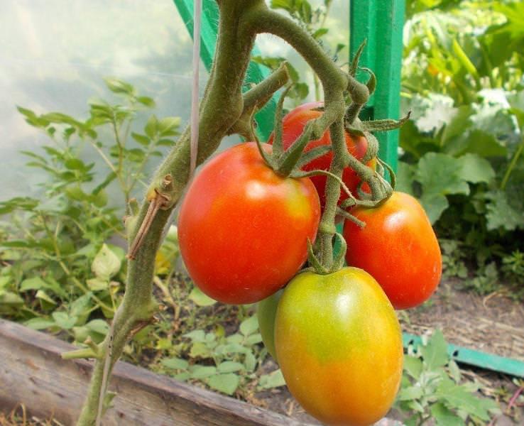 де сорта фото барао с томатов
