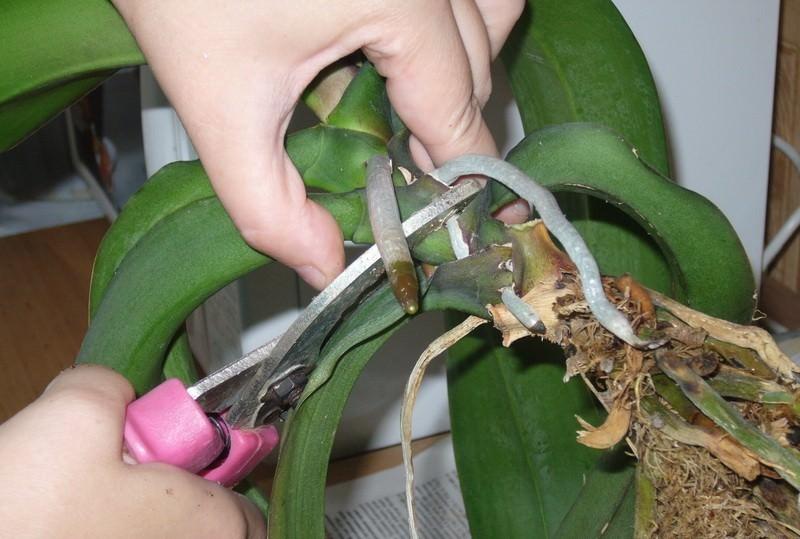 Как правильно отделить и детку от орхидеи и посадить ее?