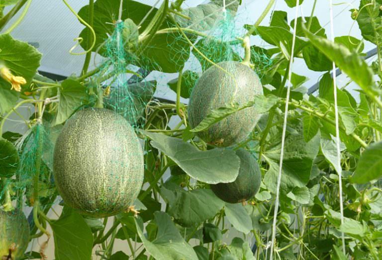 """Дыня """"торпеда"""": особенности выращивания сорта."""