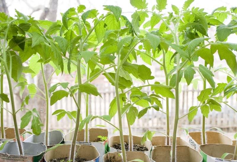 Полезные советы: что делать если переросла рассада помидоров