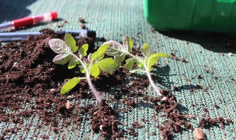 Пересадка помидоров в апреле в открытый и защищенный грунт