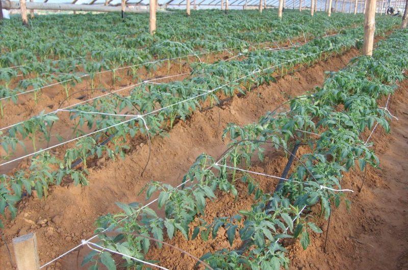 Когда можно высаживать помидоры в теплицу в Сибири?